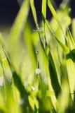 Rosée sur l'herbe en nature photographie stock libre de droits
