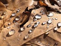 Rosée sur la feuille de chêne d'automne pendant le début de la matinée images libres de droits
