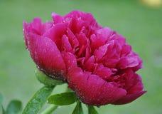 Rosée sur la fleur Image stock
