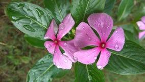 Rosée sur la fleur de bigorneau images stock
