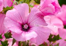 Rosée sur la fleur rose Photos libres de droits