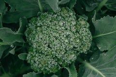 Rosée sur le brocoli photographie stock libre de droits