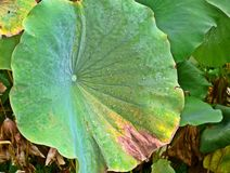 Rosée sur le lotus image stock