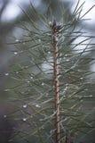 Rosée sur les branches d'arbre Photo libre de droits
