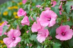 Rosée sur les fleurs roses Image libre de droits