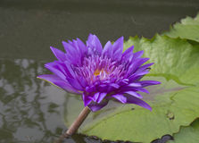 Rosée sur une fleur de lotus avec le lotus Photographie stock
