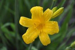 Rosée sur une fleur jaune Photographie stock libre de droits