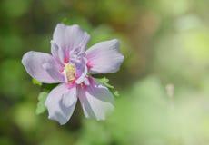 Ros av Sharon (hibiskussyriacusen) Royaltyfri Bild