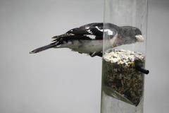 Ros-gången mot grosbeak- och fågelförlagematare Arkivbilder