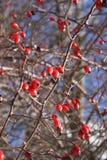 Ros-höft detalj i kala filialer för vinter Rött och blått färgar royaltyfri fotografi