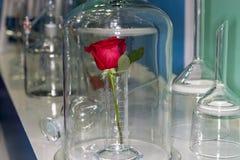 Ros i laboratoriumet royaltyfri foto