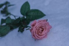 Ros i vintersnöblomma fotografering för bildbyråer