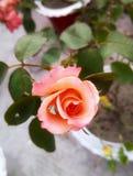 Ros med rosa blek f?rg royaltyfri bild