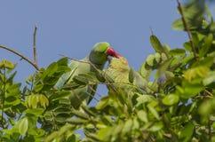 Ros-ringed parakiter - fågel royaltyfri fotografi