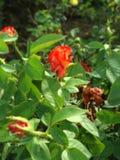 Ros som är röd för naturligt arkivfoto