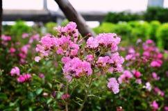 rosa ฺBeautiful das flores Fotografia de Stock Royalty Free