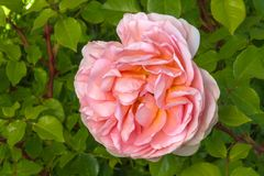 Rosa 'Abraham Darby 'dichte omhooggaand stock foto