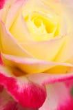 Rosa ändrat genetiskt Royaltyfri Foto