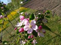 Rosa äppleblomning i den ukrainska trädgården royaltyfri bild