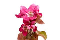 Rosa äppleblomning på vit Royaltyfria Foton
