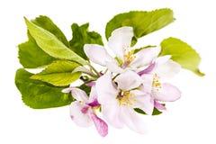 Rosa äppleblomningar Arkivbild