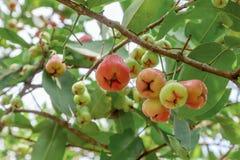 Rosa äpplen på träd i fruktträdgård Arkivfoton