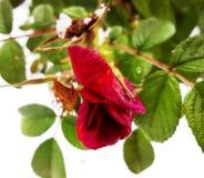 Rosa аnd snö Arkivfoto
