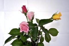 Rosa αυξήθηκε Στοκ Εικόνα