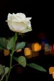 Rosa στα φω'τα υποβάθρου Στοκ φωτογραφίες με δικαίωμα ελεύθερης χρήσης