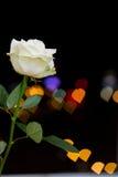 Rosa στα φω'τα υποβάθρου Στοκ Εικόνα