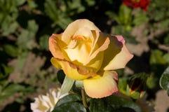 """Rosa """"Gloria Dei"""" immagine stock"""