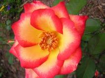 Rosa 1 Fotos de Stock