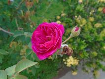 Rosa rosa Royaltyfria Foton
