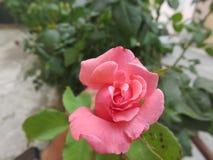 rosa Lizenzfreie Stockbilder