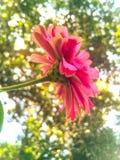 Rosa stockbilder