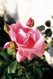 Rosa 2 Imagens de Stock Royalty Free