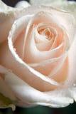 Rosa 2 Fotografia de Stock Royalty Free