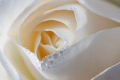 rosa Fotografia Royalty Free