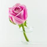 Rosa Fotografia Stock