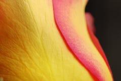 A Rosa Foto de Stock