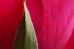A Rosa Imagem de Stock