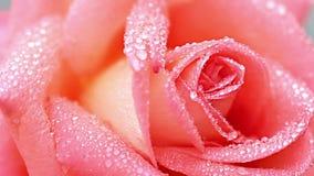Rosa archivi video
