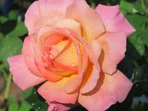A Rosa Imagens de Stock