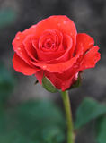 Rosa Fotos de Stock
