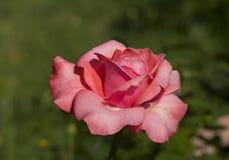 A Rosa Foto de Stock Royalty Free