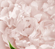rosa Obraz Stock