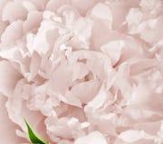 rosa Image stock