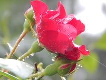 Rosa Fotografie Stock