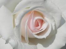 Rosa Fotografie Stock Libere da Diritti