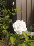 rosa Royaltyfri Foto